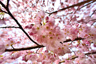 Vancouver Cherry Blossoms 4 Print by Terry Elniski