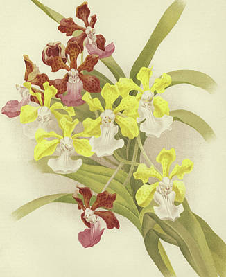 Orchids Drawing - Vanda Insignis And Var Scroederiana  by English School