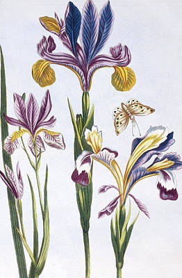 Irises Drawing - Variegated Iris by Pierre-Joseph Buchoz