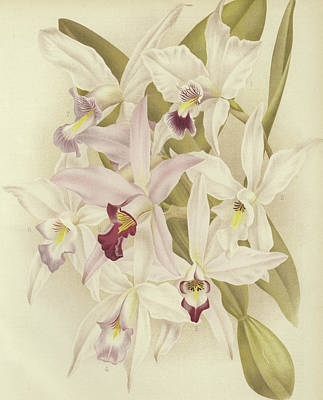 Orchids Drawing - Varieties Of Laelia Anceps by English School