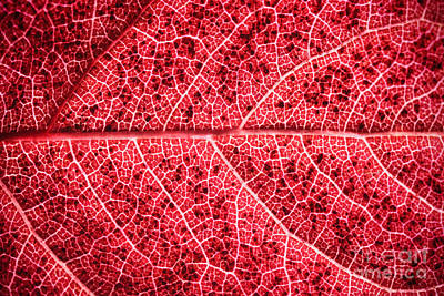 Veins In A Red Autumn Leaf Print by Ryan Kelly