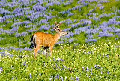 Velvet On Lupine Print by Mike  Dawson