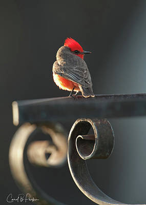 Vermilion Flycatcher Original by Carol Brooks Parker