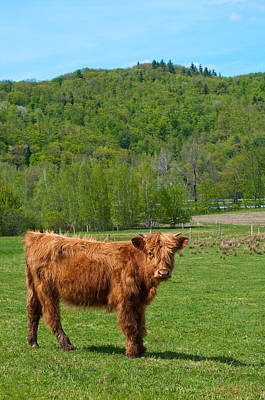 Vermont Cow Print by Mandy Wiltse
