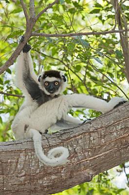 Lemur Tail Photograph - Verreauxs Sifaka by Tony Camacho