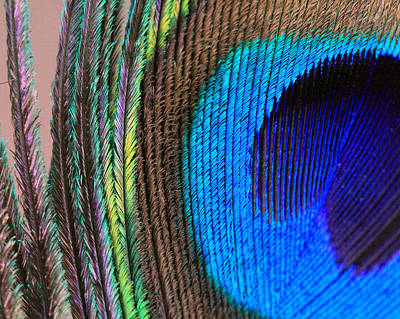 Abstract Photograph - Vibrant Blue Feather by Angela Murdock