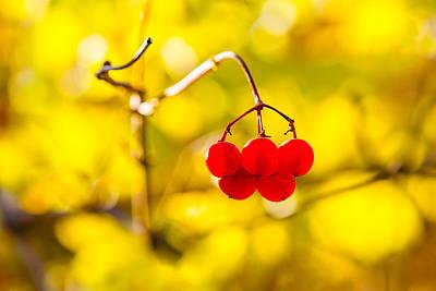 Viburnum Berries - Natural Olympic Emblem Print by Alexander Senin