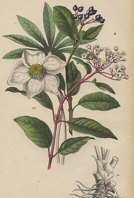 Viburnum Tinus And Heleborus Niger Christmas Rose Print by German Botanical Artist