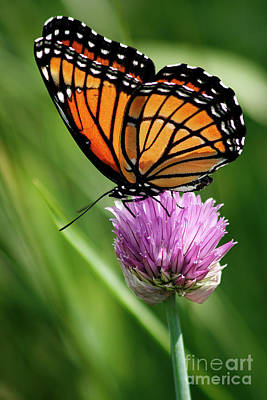 Viceroy On A Chive Print by Cindi Ressler