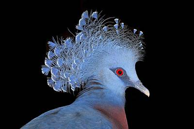 Victoria Crowned Pigeon Original by John Absher