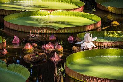 Victoria Cruziana Photograph - Victoria Plant  by Zina Stromberg