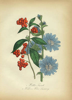 Bittersweet Drawing - Victorian Botanical Illustration Of Bittersweet And Blue Succory by Peacock Graphics