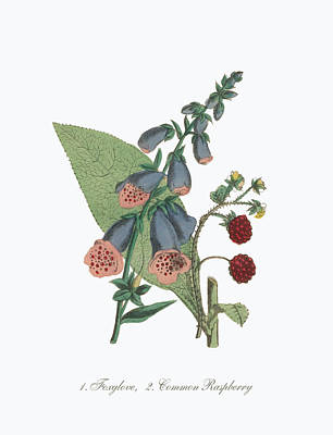 Raspberry Drawing - Victorian Botanical Illustration Of Foxglove And Common Raspberry by Peacock Graphics