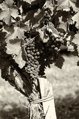 Grapevine Photograph - Vine And Grapes - Toned by Georgia Fowler