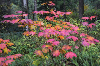 State Parks In Oregon Photograph - Vine Maple Ablaze by Loree Johnson