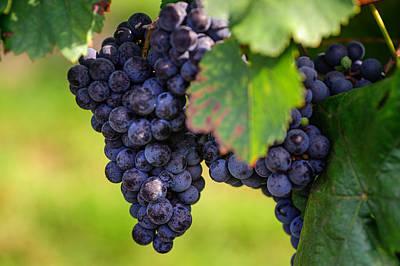 Blue Grapes Photograph - Vineyard Harvest Time by Jenny Rainbow