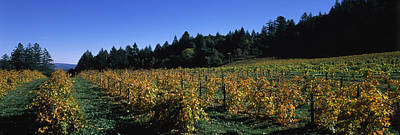 Viniculture Photograph - Vineyard In Fall, Sonoma County by Panoramic Images