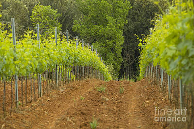 Vineyard In Tuscany Print by Patricia Hofmeester