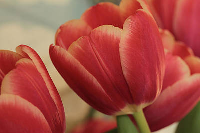 Spring Bulbs Photograph - Vintage Blooms by Connie Handscomb