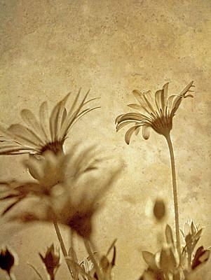 Stamen Digital Art - Vintage Daisies. by Kelly Nelson