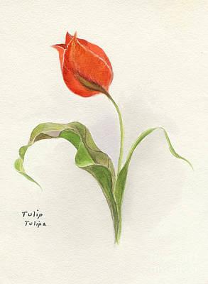 Tulips Drawing - Vintage Tulip Watercolor by Edward Fielding
