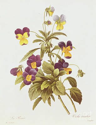 Stem Drawing - Viola Tricolour  by Pierre Joseph Redoute