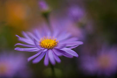 Floral Photograph - Violet Daisy Dreams by Mike Reid