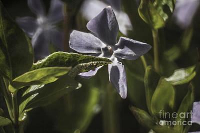 Redoute Digital Art - Violet Flower by Doc Braham