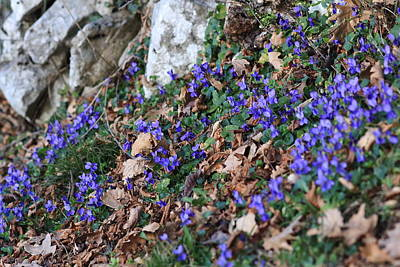Meadow Photograph - Violet In A Wood  by Samantha Mattiello