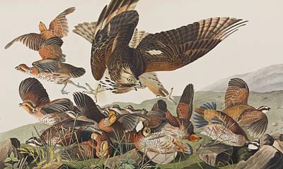 Virginian Partridge Print by John James Audubon