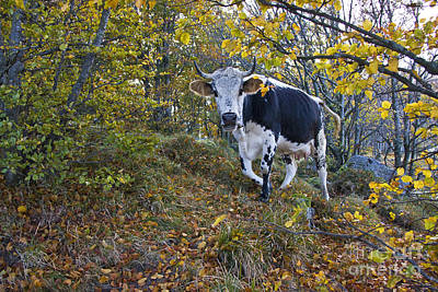 Vosges Cow In A Beech Forest Print by Jean-Louis Klein & Marie-Luce Hubert