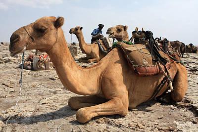 Camel Photograph - Waiting Patiently by Aidan Moran