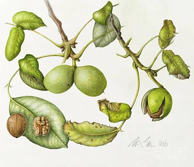 Shells Drawing - Walnut by Margaret Ann Eden