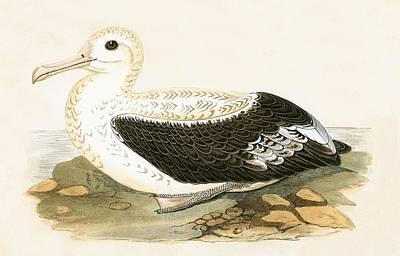 Albatross Drawing - Wandering Albatross by English School