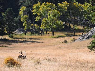 Roaming Elk Photograph - Wandering Elk by Connor Beekman