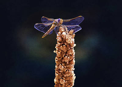 Dragonfly Eyes Photograph - Wandering Glider Dragonfly by Steven Michael