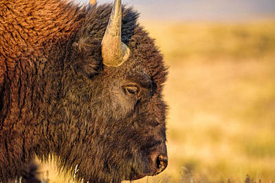 Wildfire Smoke Photograph - Warm Bison by Ryan Moyer