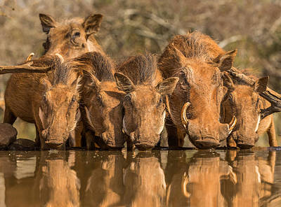 Water Reflections Photograph - Warthog Family Reunion by Jaco Marx