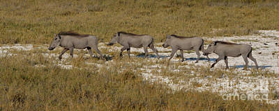 Photograph - Warthog Parade by Tom Wurl
