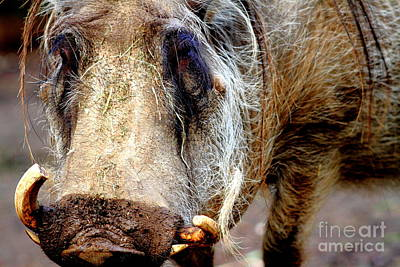Nature Photograph - Warthog by Wingsdomain Art and Photography