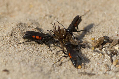 Wasps With Spider Print by Steen Drozd Lund