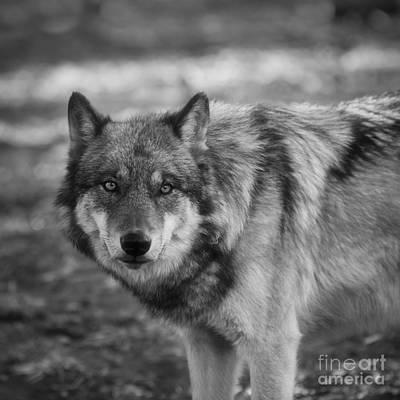 Black. Timber Wolf Photograph - Watchful by Ana V  Ramirez