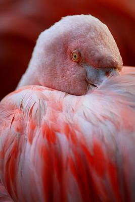 Pink Flamingo Nature Photograph - Watchful Eye by Bill Keiran