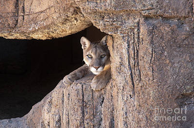 North American Wildlife Photograph - Watchful Eyes by Sandra Bronstein