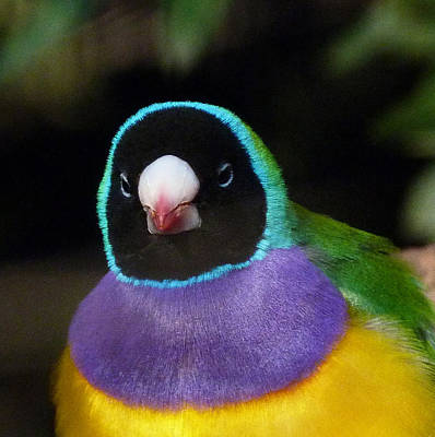 Photograph - Watchful Gouldian Finch by Margaret Saheed