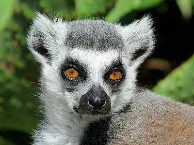 Photograph - Watching You - Ring-tailed Lemur by Margaret Saheed