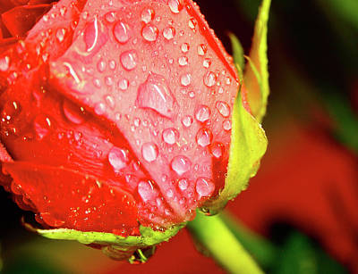Water Beaded Red Rose Original by Mark Delfs