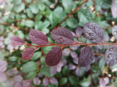 Flower Photograph - Water Droplets On Purplish Red Leaves by Kathleen Wong