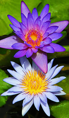 Water Lily Blossoms Print by Kerri Ligatich