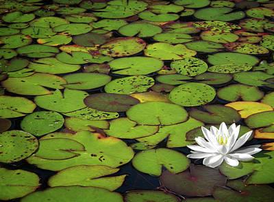 Photograph - Water Lily by Elisabeth Van Eyken